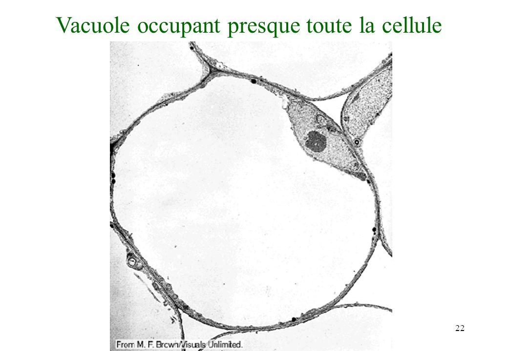 22 Vacuole occupant presque toute la cellule