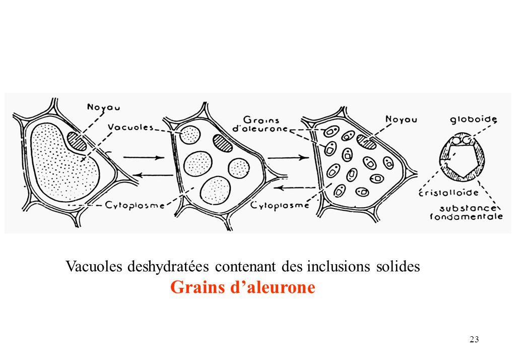 23 Vacuoles deshydratées contenant des inclusions solides Grains daleurone