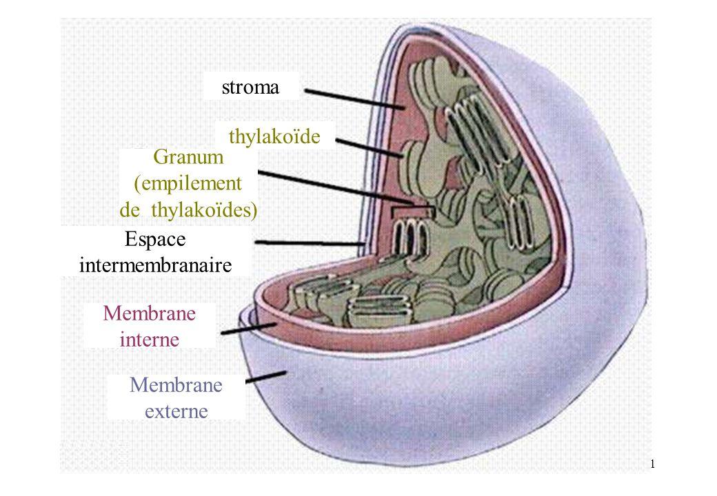 31 Membrane externe Membrane interne Espace intermembranaire stroma thylakoïde Granum (empilement de thylakoïdes)