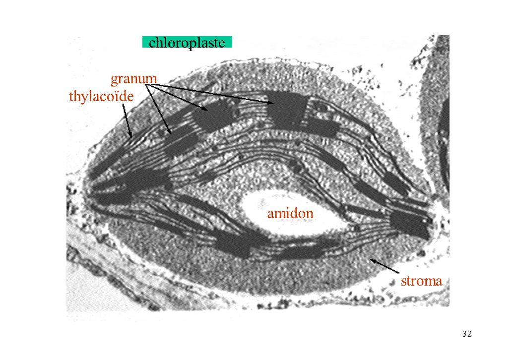 32 amidon stroma thylacoïde granum chloroplaste