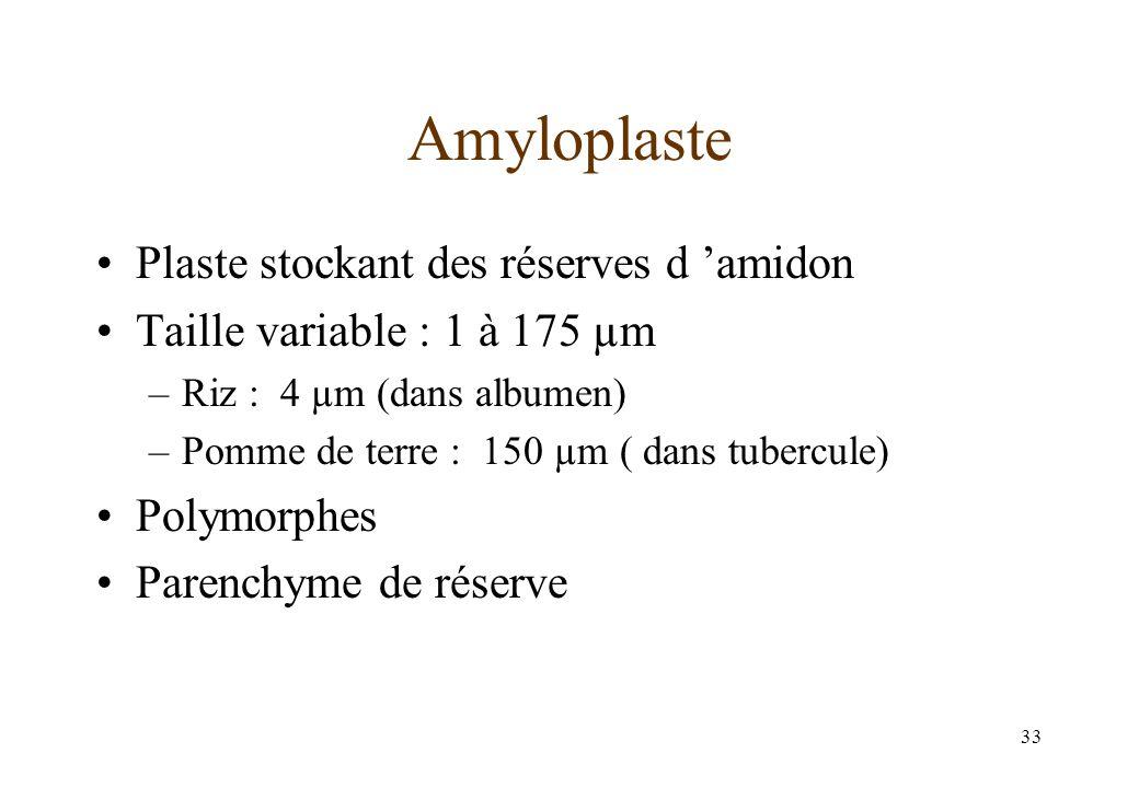 33 Amyloplaste Plaste stockant des réserves d amidon Taille variable : 1 à 175 µm –Riz : 4 µm (dans albumen) –Pomme de terre : 150 µm ( dans tubercule) Polymorphes Parenchyme de réserve