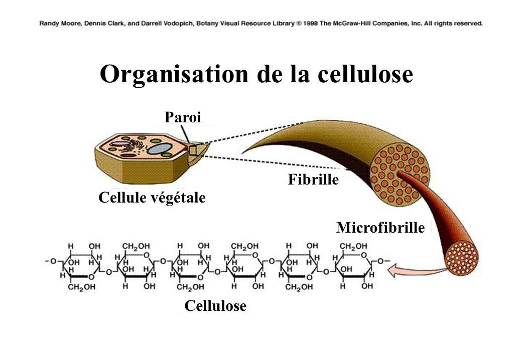 47 Organisation de la cellulose Paroi Cellule végétale Fibrille Microfibrille Cellulose