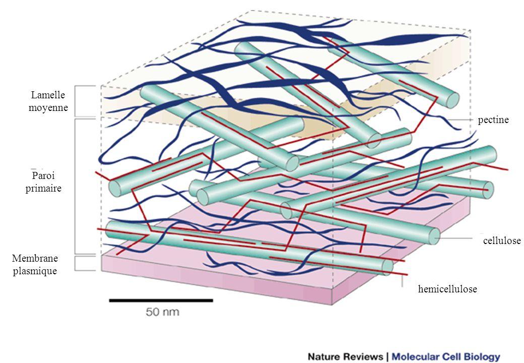 8 Membrane plasmique Paroi primaire Lamelle moyenne pectine cellulose hemicellulose