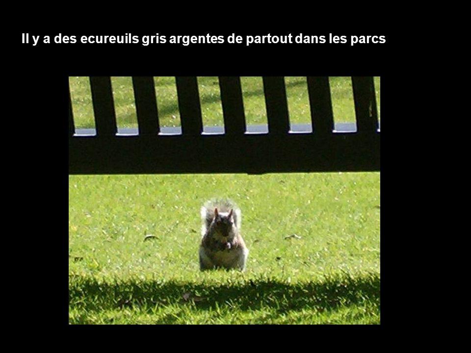 Il y a des ecureuils gris argentes de partout dans les parcs