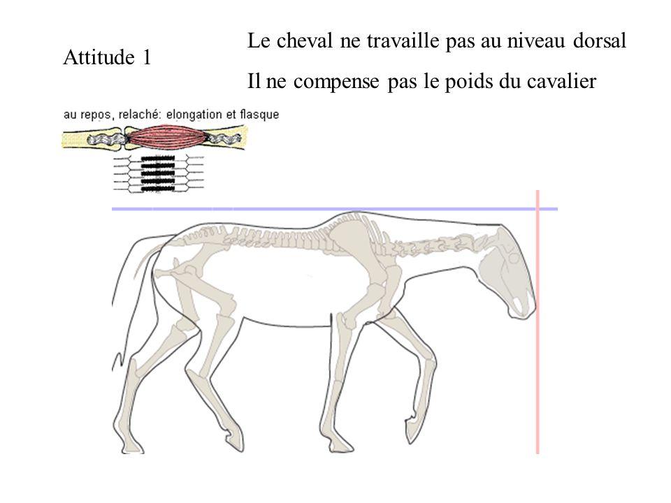 Attitude 1 Le cheval ne travaille pas au niveau dorsal Il ne compense pas le poids du cavalier