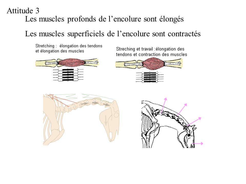 Les muscles profonds de lencolure sont élongés Les muscles superficiels de lencolure sont contractés