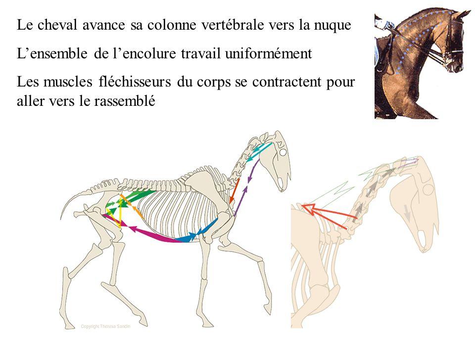 Le cheval avance sa colonne vertébrale vers la nuque Lensemble de lencolure travail uniformément Les muscles fléchisseurs du corps se contractent pour aller vers le rassemblé