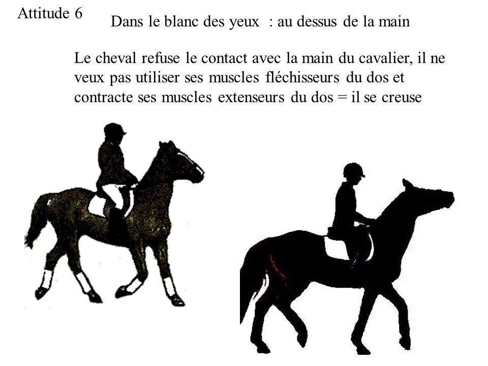 Attitude 6 Dans le blanc des yeux : au dessus de la main Le cheval refuse le contact avec la main du cavalier, il ne veux pas utiliser ses muscles fléchisseurs du dos et contracte ses muscles extenseurs du dos = il se creuse