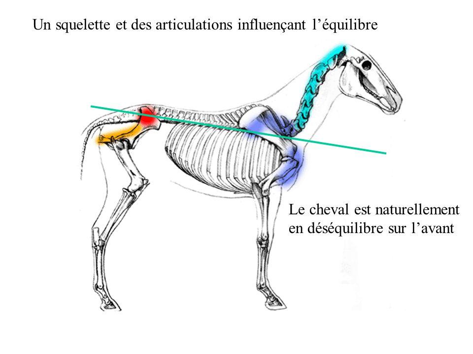Un squelette et des articulations influençant léquilibre Le cheval est naturellement en déséquilibre sur lavant