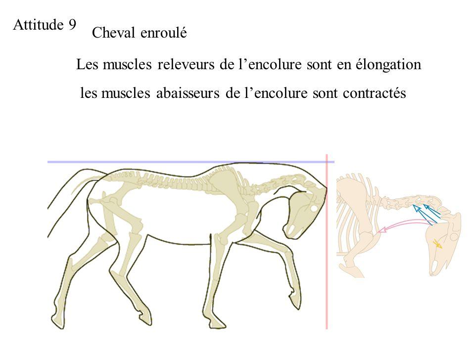Attitude 9 Cheval enroulé Les muscles releveurs de lencolure sont en élongation les muscles abaisseurs de lencolure sont contractés