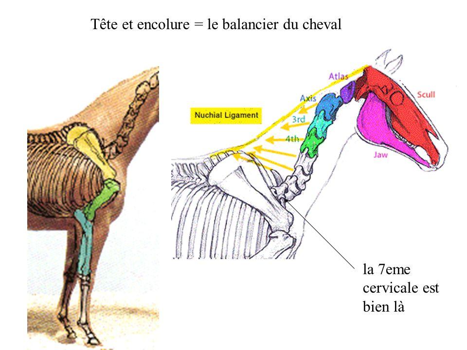 Tête et encolure = le balancier du cheval la 7eme cervicale est bien là