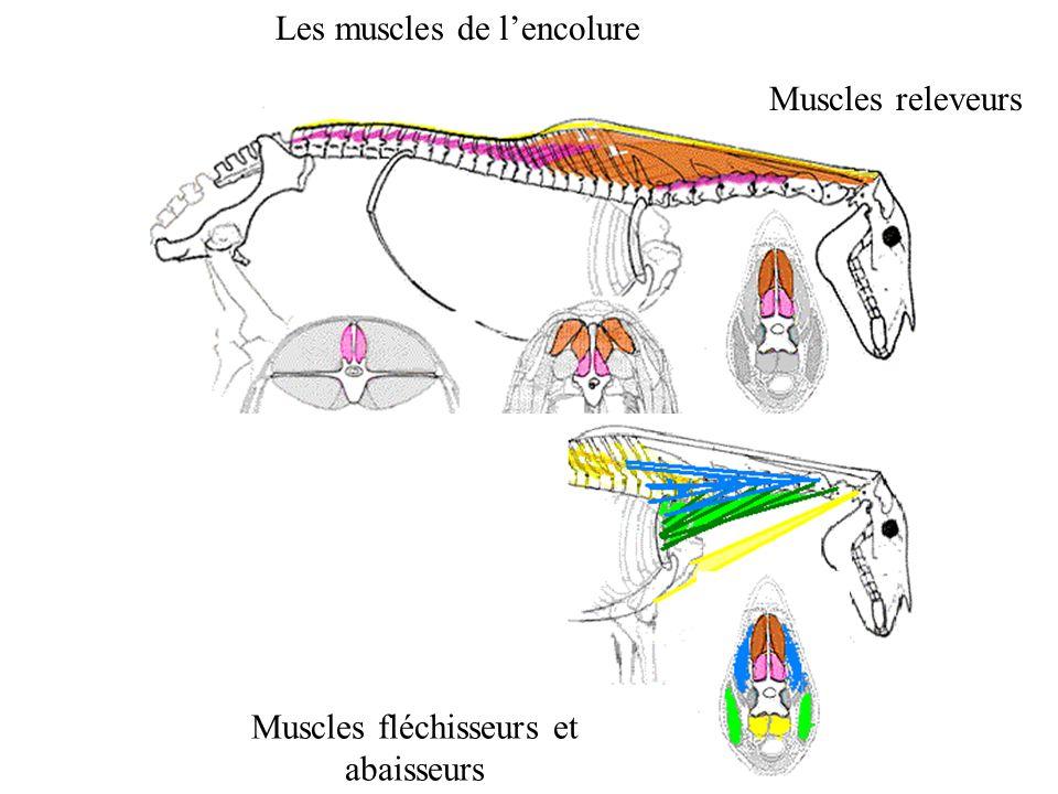 Les muscles de lencolure Muscles fléchisseurs et abaisseurs Muscles releveurs