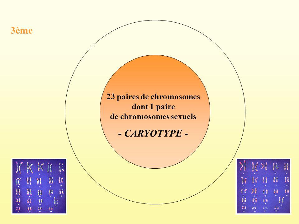 23 paires de chromosomes dont 1 paire de chromosomes sexuels - CARYOTYPE - 3ème