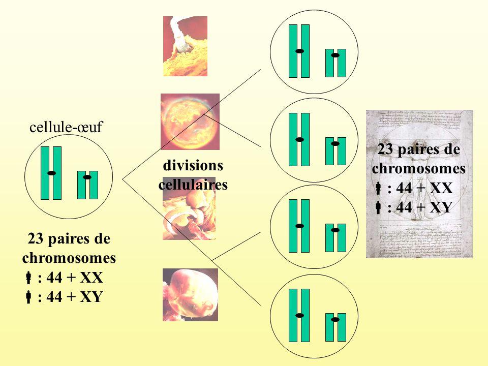 23 paires de chromosomes : 44 + XX : 44 + XY cellule-œuf divisions cellulaires 23 paires de chromosomes : 44 + XX : 44 + XY
