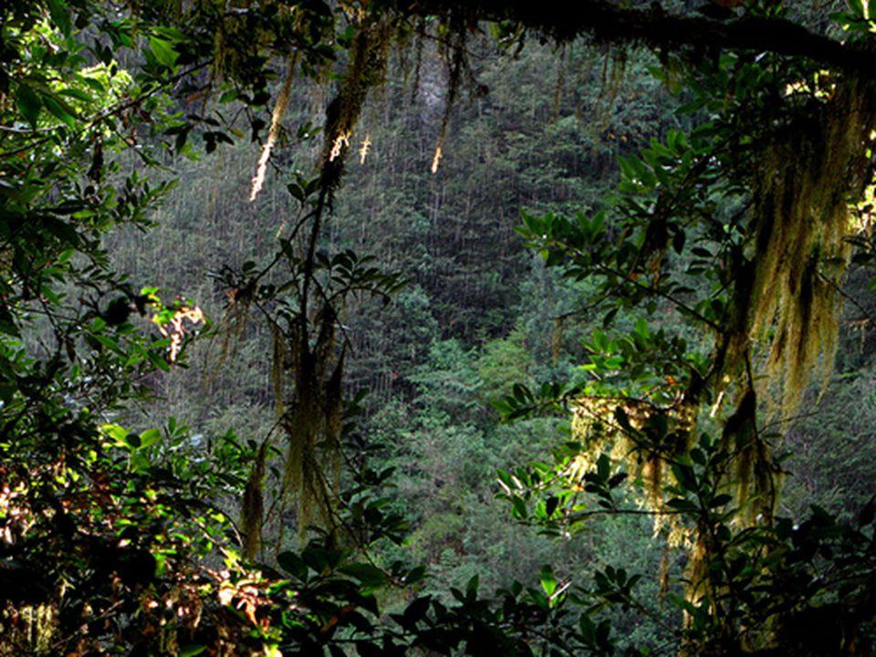 Une grande partie du parc Queulat est recouverte par ce qui est appelé la FORÊT Valdiviano, une zone recouverte de vegetation tellement dense quil en résulte une zone impénétrable sur une bonne partie.