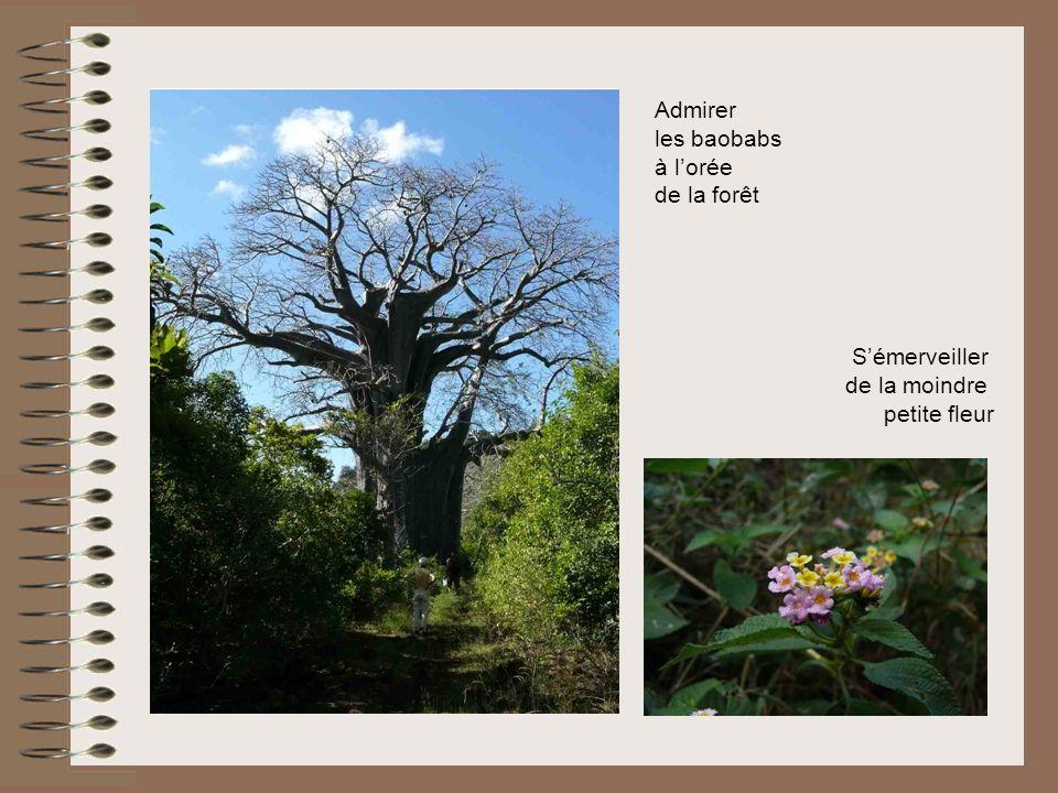 Admirer les baobabs à lorée de la forêt Sémerveiller de la moindre petite fleur