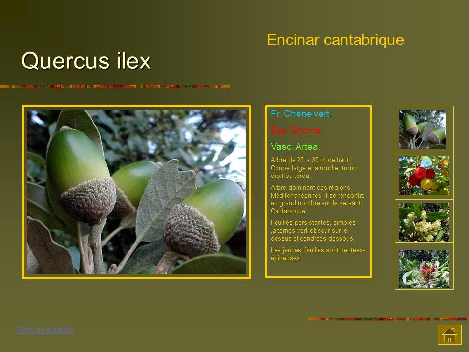 Quercus ilex Encinar cantabrique Fr.Chêne vert. Esp.