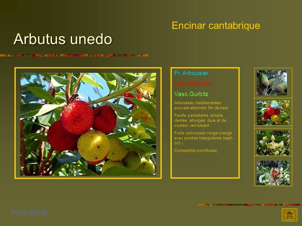 Arbutus unedo Encinar cantabrique Fr. Arbousier Esp. Madroño Vasc.Gurbitz Arbrisseau méditerranéen pouvant atteindre 5m de haut Feuille persistante, s