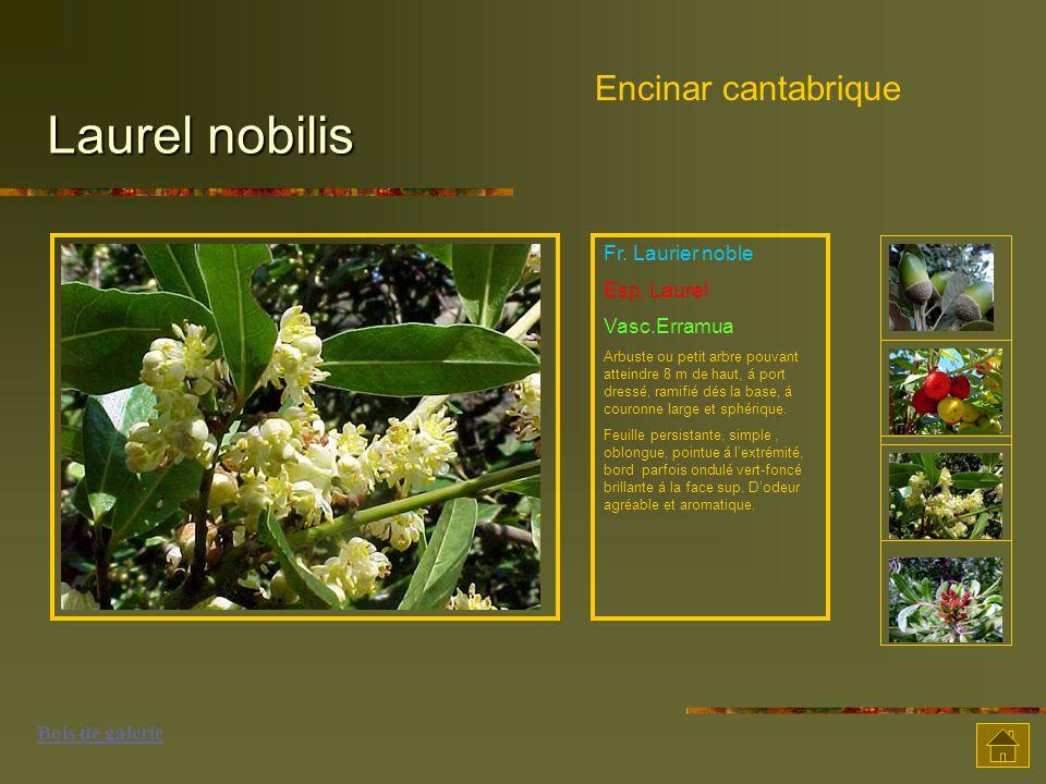 Laurel nobilis Encinar cantabrique Fr. Laurier noble Esp. Laurel Vasc.Erramua Arbuste ou petit arbre pouvant atteindre 8 m de haut, á port dressé, ram