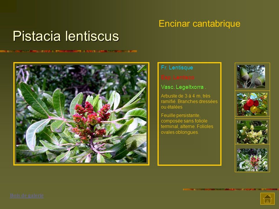 Pistacia lentiscus Encinar cantabrique Fr.Lentisque Esp.