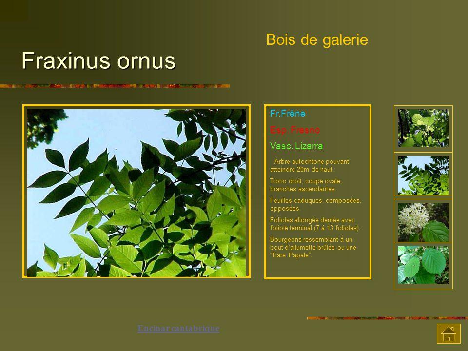 Fraxinus ornus Fr.Frêne Esp.Fresno Vasc. Lizarra Arbre autochtone pouvant atteindre 20m de haut.