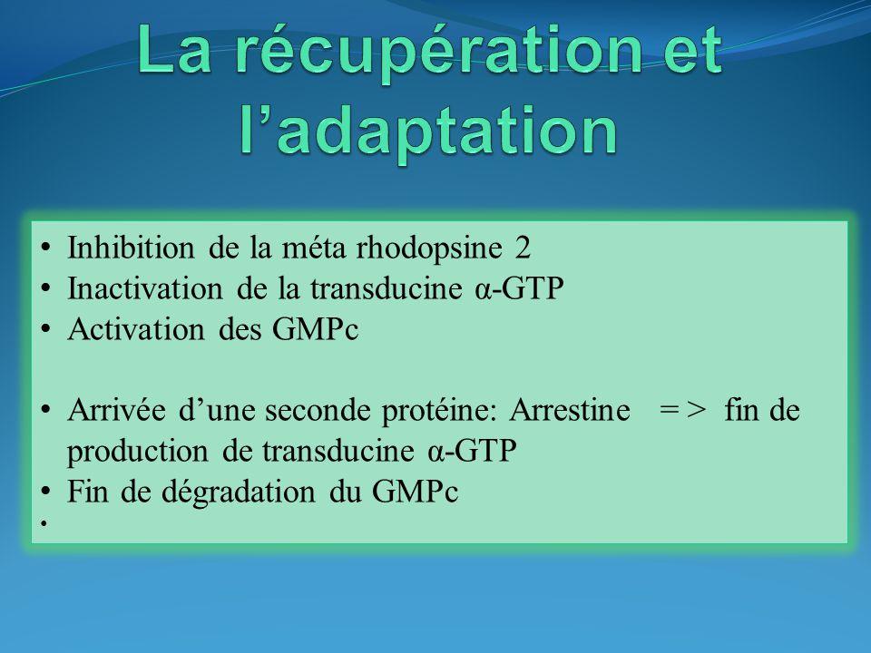 Inhibition de la méta rhodopsine 2 Inactivation de la transducine α-GTP Activation des GMPc Arrivée dune seconde protéine: Arrestine = > fin de produc