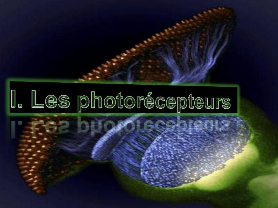 convertir l énergie lumineuse en variation du potentiel électrique de membrane dans les disques du segment externe grâce à un pigment nommé, iodopsine l état 11-cis en l état tout-trans