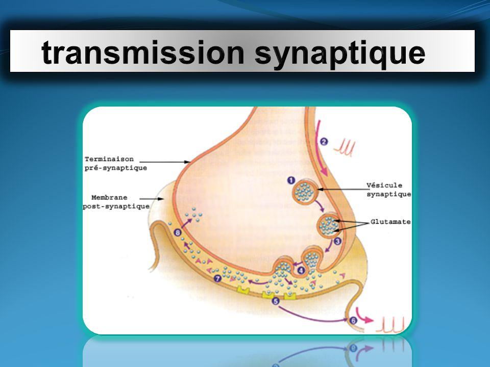 cellules photosensibles de la rétine signal bio-électrique = influx nerveux vision scotopique ne perçoivent pas les couleurs