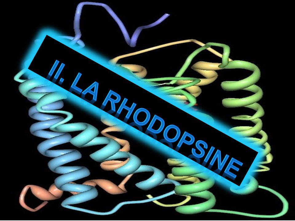 7 hélices transmembranaires Couplés aux protéines G