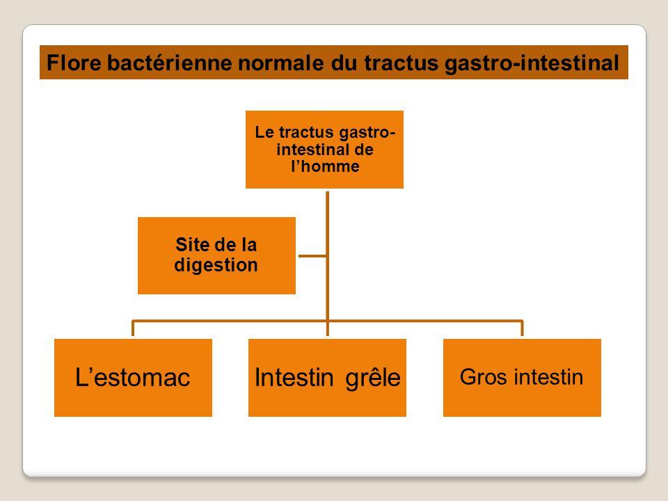 LestomacIntestin grêle Gros intestin Site de la digestion Le tractus gastro- intestinal de lhomme Flore bactérienne normale du tractus gastro-intestinal