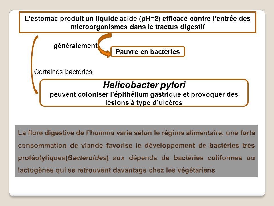 Lestomac produit un liquide acide (pH=2) efficace contre lentrée des microorganismes dans le tractus digestif Pauvre en bactéries généralement Helicobacter pylori peuvent coloniser lépithélium gastrique et provoquer des lésions à type dulcères Certaines bactéries