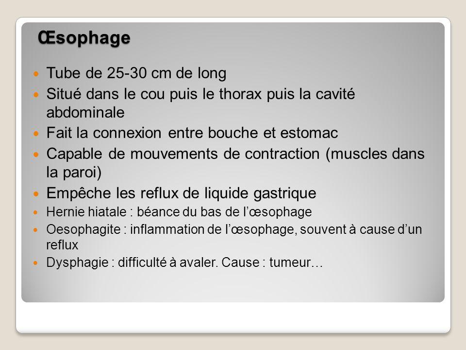 Œsophage Tube de 25-30 cm de long Situé dans le cou puis le thorax puis la cavité abdominale Fait la connexion entre bouche et estomac Capable de mouvements de contraction (muscles dans la paroi) Empêche les reflux de liquide gastrique Hernie hiatale : béance du bas de lœsophage Oesophagite : inflammation de lœsophage, souvent à cause dun reflux Dysphagie : difficulté à avaler.