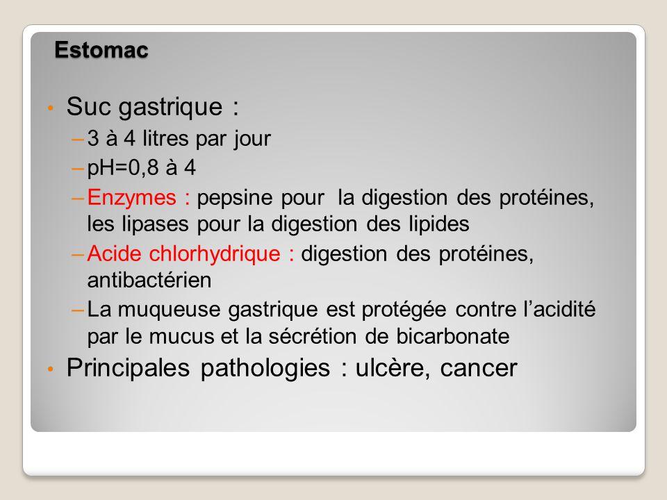 Estomac Suc gastrique : –3 à 4 litres par jour –pH=0,8 à 4 –Enzymes : pepsine pour la digestion des protéines, les lipases pour la digestion des lipides –Acide chlorhydrique : digestion des protéines, antibactérien –La muqueuse gastrique est protégée contre lacidité par le mucus et la sécrétion de bicarbonate Principales pathologies : ulcère, cancer