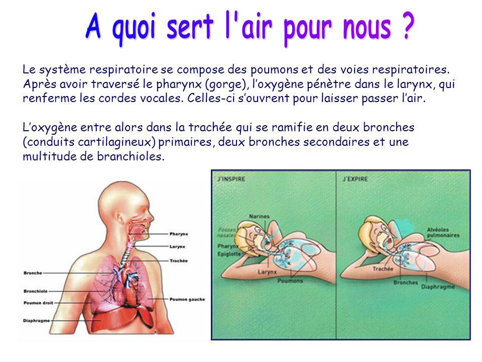 Le système respiratoire se compose des poumons et des voies respiratoires. Après avoir traversé le pharynx (gorge), loxygène pénètre dans le larynx, q