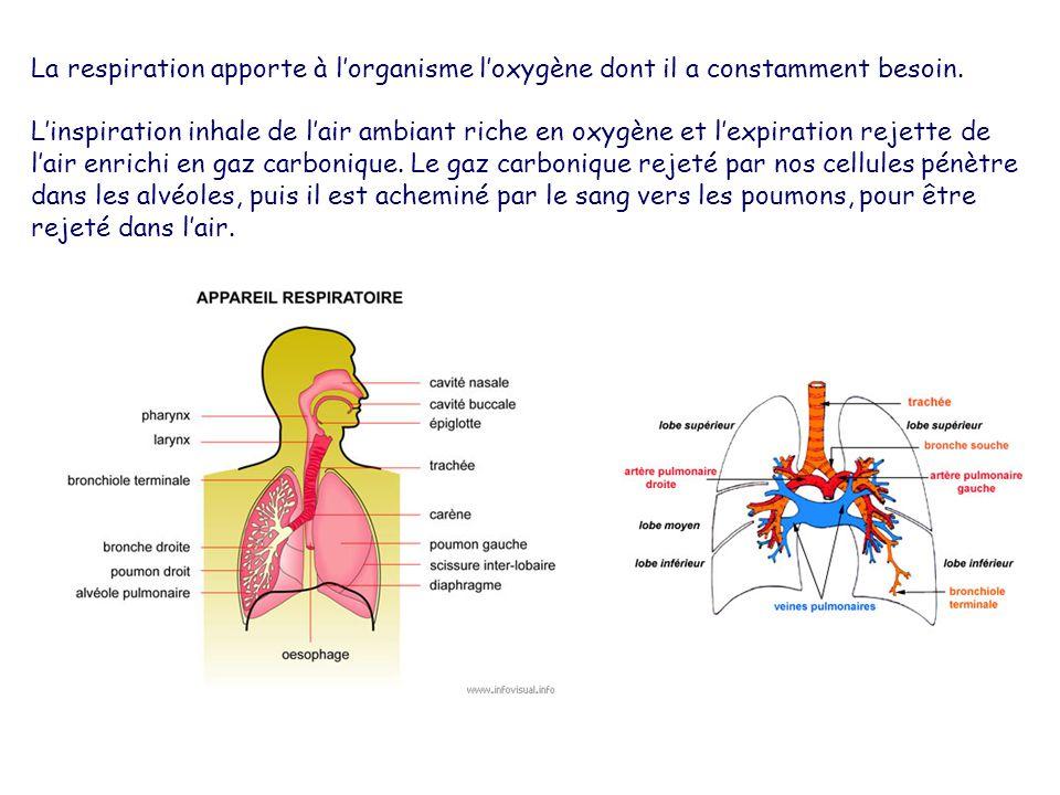 La respiration apporte à lorganisme loxygène dont il a constamment besoin. Linspiration inhale de lair ambiant riche en oxygène et lexpiration rejette