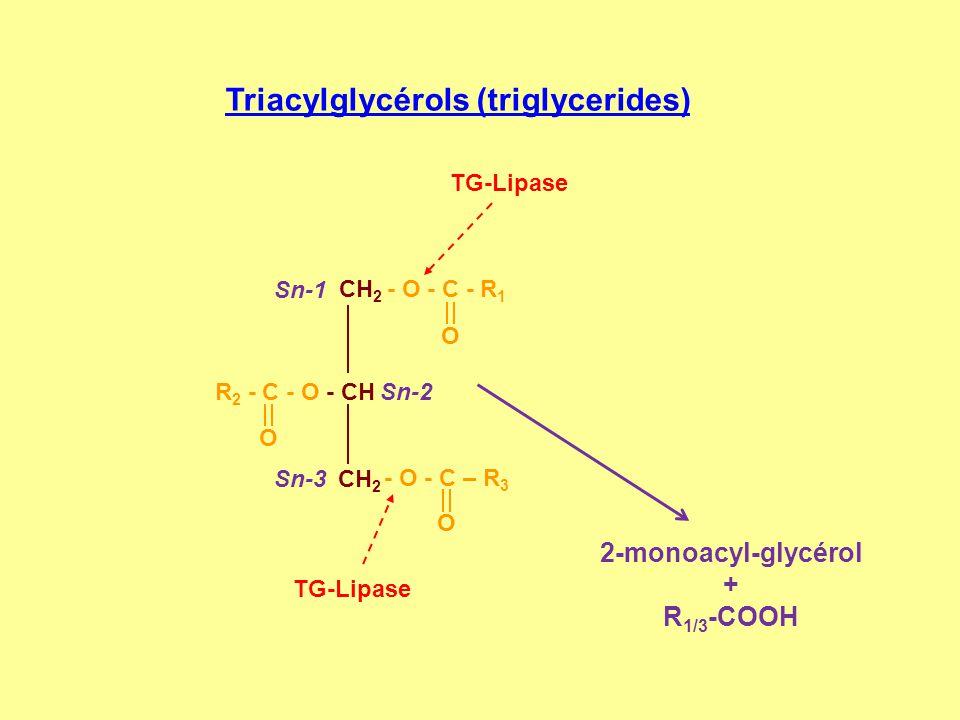 Triacylglycérols (triglycerides) TG-Lipase CH 2 - O - C - R 1 R 2 - C - O - CH CH 2 O O - O - C – R 3 O Sn-1 Sn-2 Sn-3 2-monoacyl-glycérol + R 1/3 -CO