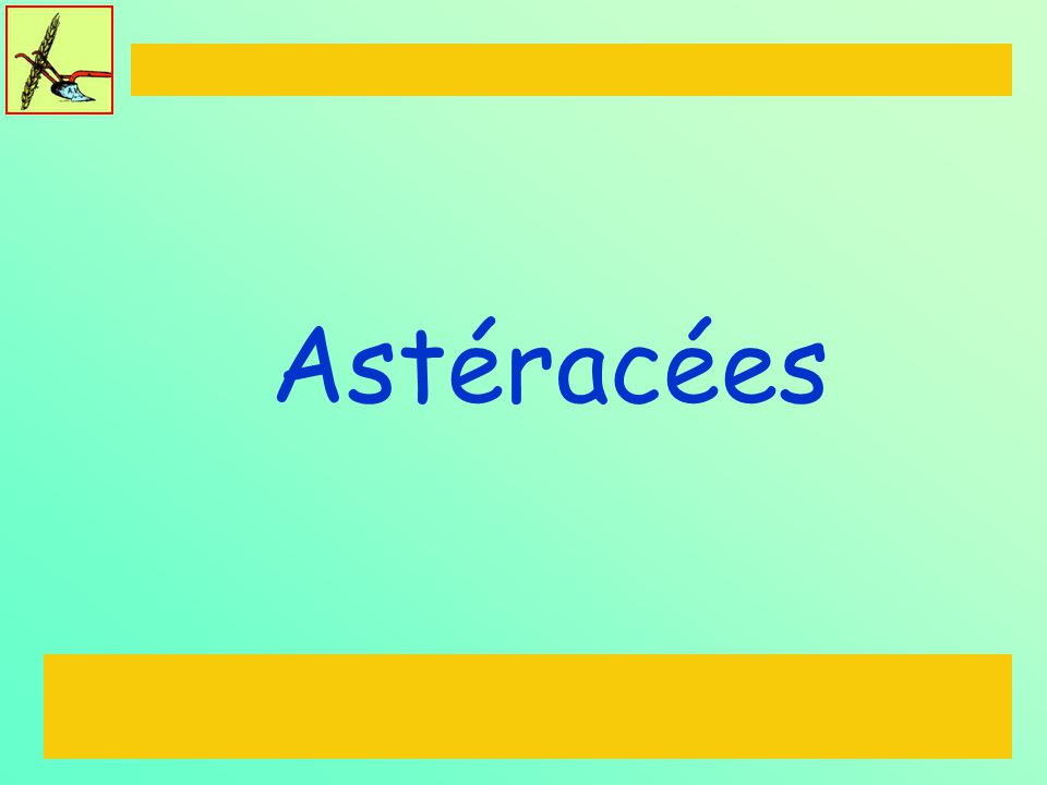 Astéracées
