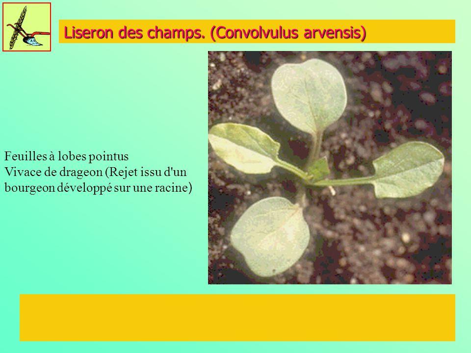 Liseron des champs. (Convolvulus arvensis) Feuilles à lobes pointus Vivace de drageon (Rejet issu d'un bourgeon développé sur une racine )