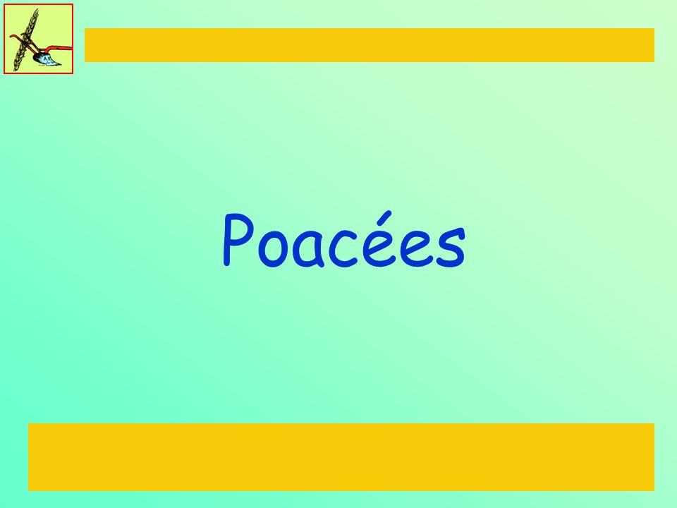 Brassicacées