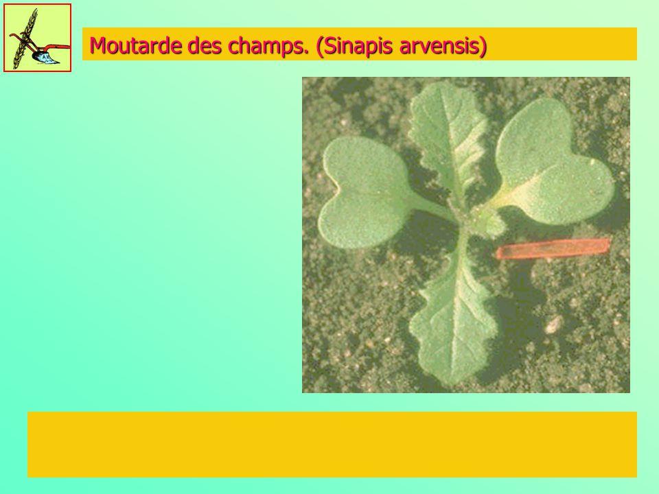 Moutarde des champs. (Sinapis arvensis)