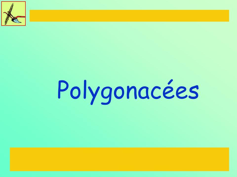Polygonacées
