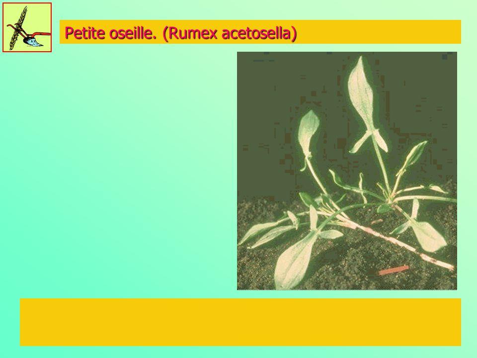 Petite oseille. (Rumex acetosella)