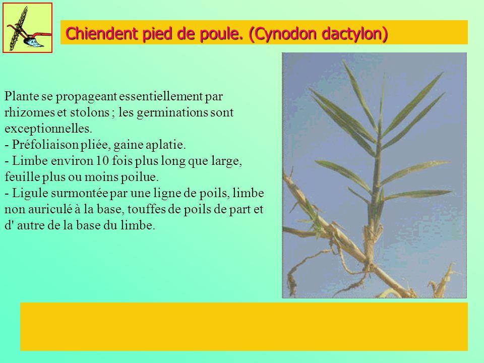 Chiendent pied de poule. (Cynodon dactylon) Plante se propageant essentiellement par rhizomes et stolons ; les germinations sont exceptionnelles. - Pr