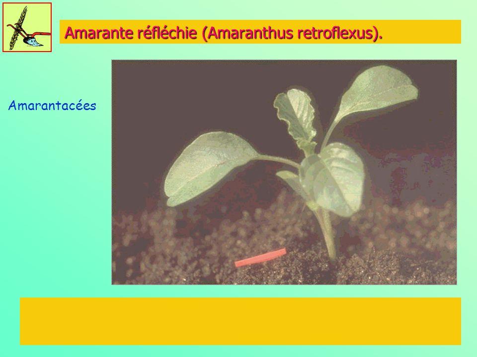Amarante réfléchie (Amaranthus retroflexus). Amarantacées