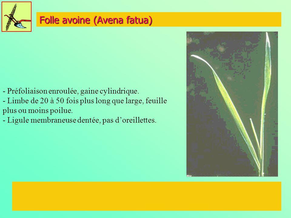 Folle avoine (Avena fatua) - Préfoliaison enroulée, gaine cylindrique. - Limbe de 20 à 50 fois plus long que large, feuille plus ou moins poilue. - Li