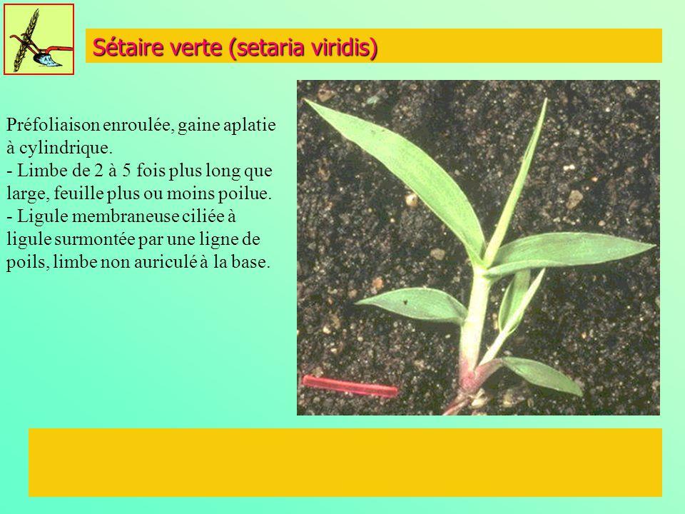 Sétaire verte (setaria viridis) Préfoliaison enroulée, gaine aplatie à cylindrique. - Limbe de 2 à 5 fois plus long que large, feuille plus ou moins p