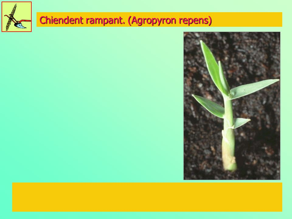 Renouée persicaire (Polygonum persicaria)