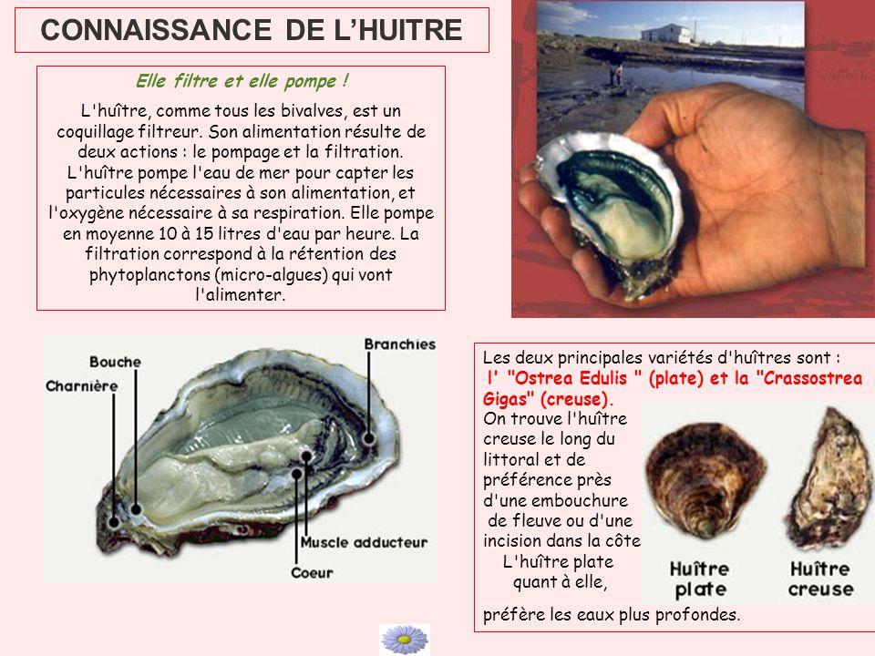 CONNAISSANCE DE LHUITRE Elle filtre et elle pompe ! L'huître, comme tous les bivalves, est un coquillage filtreur. Son alimentation résulte de deux ac