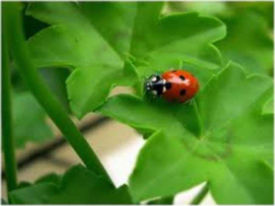 Pour aller te poser sur une feuille et réussir A te gaver de pucerons et ten nourrir, Cher petit insecte, Avec amour je te protège et te respecte.