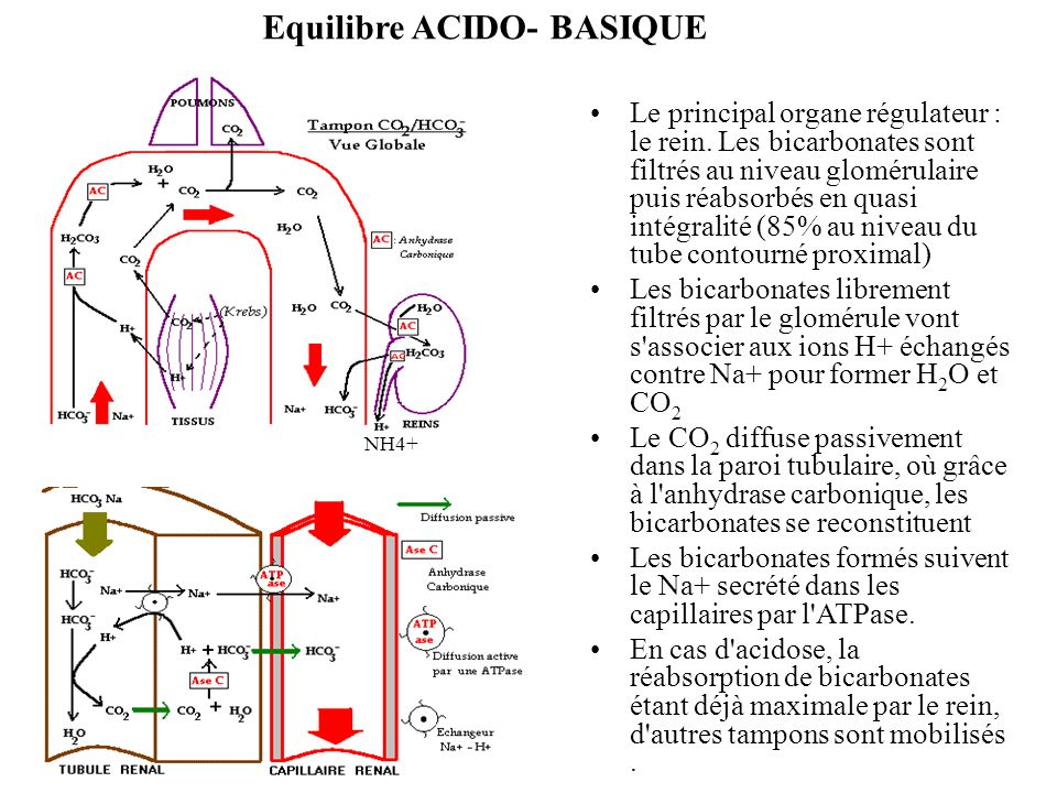 Equilibre ACIDO- BASIQUE Le principal organe régulateur : le rein. Les bicarbonates sont filtrés au niveau glomérulaire puis réabsorbés en quasi intég